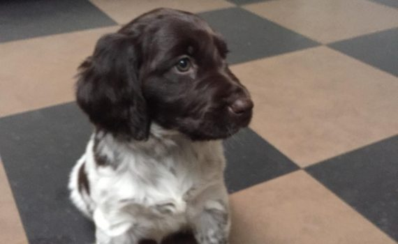 Puppy 8 weken